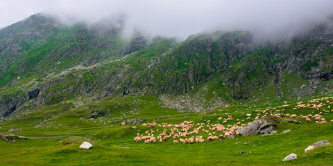 flock of sheep on the green meadow. summer landscape in mountains of romania. cloudy weather