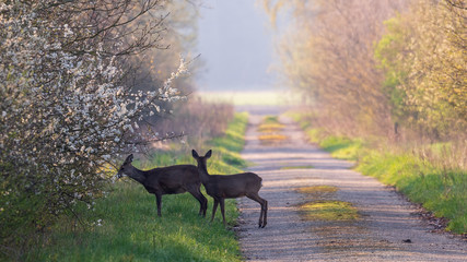 Spoed Fotobehang Ree Pregnant roe deer and fawn from the year before in spring season.