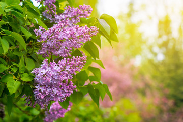 pink lilac flowers closeup on a branch. beautiful blurred background of blossoming garden in springtime