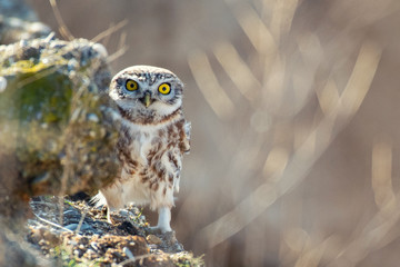 Fototapete - Little owl, Athene noctua, looks out from behind a rock