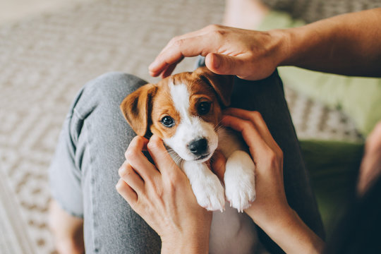 Adorable puppy Jack Russell Terrier in the owner's hands.