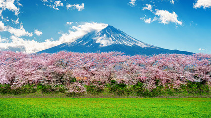 Wall Mural - Fuji mountain and cherry blossom in spring, Japan.