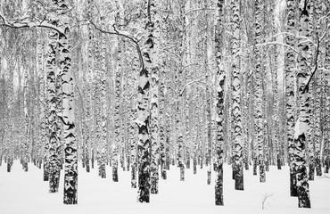 Winter birches black and white