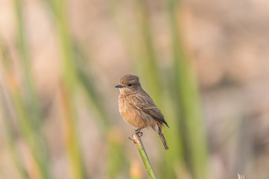 Female Pied Bushchat perched and watching