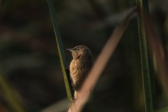 Striated Babbler perched
