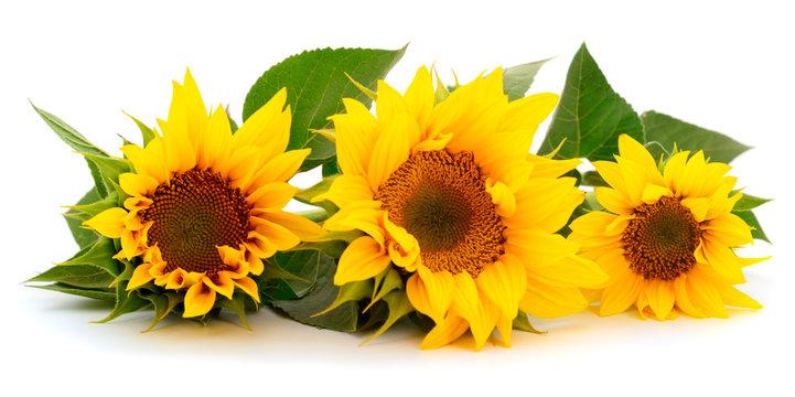 Group of yellow bright beautiful sunflower flowers.
