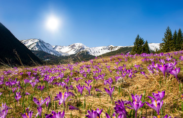 Papiers peints Crocus Beautiful spring landscape of mountains with crocus flowers