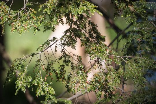 Green Pine - Pinus - Needles Closeup