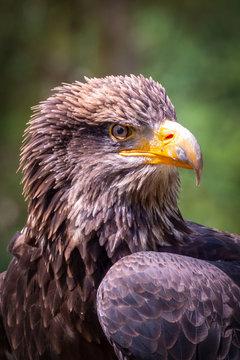 Juvenile Bald Eagle - Haliaeetus Leucocephalus Portrait