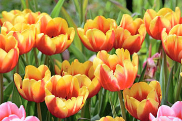 Beautiful tulips flower in tulip field at spring day
