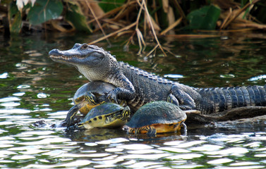 Foto auf Acrylglas Crocodile The Turtle collector. American Alligator and red-bellied turtles in south Florida