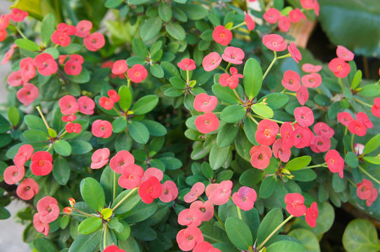 Euphorbia milii or crown of thorns green shrub blossoming red flowers