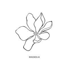 Hand drawn magnolia flower. Botanical design element