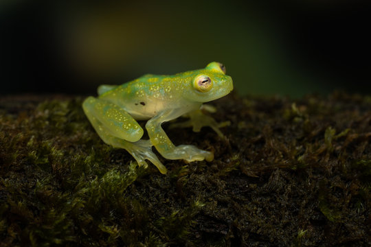 Glass frog on a mossy branch