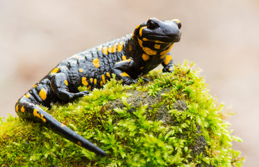 Fire salamander resting in a forest Wall mural