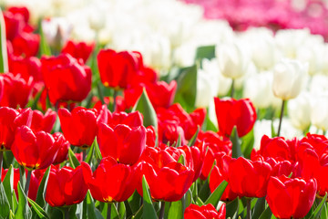 Wall Mural - Natural background of red and white tulips