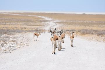 Garden Poster Antelope Etoscha Nationalpark