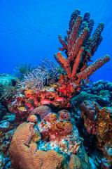 Caribbean coral garden