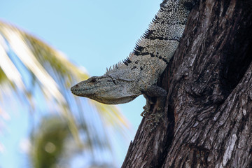 Photo sur Plexiglas Crocodile big lizzard on tree in costa rica, central America