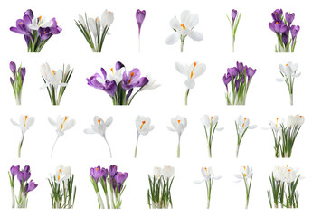 Photo sur Plexiglas Crocus Set of beautiful crocuses on white background. Spring flowers