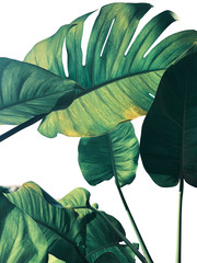 Wall Mural - Abstract tropical green leaves pattern on white background, lush foliage of giant golden pothos or Devil's ivy (Epipremnum aureum) the tropic plant..