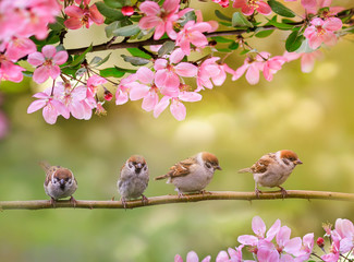 Wall Mural - natural background with birds, sitting on branches with pink Apple blossom in spring in may Sunny garden