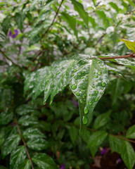water-drops on a green leaf