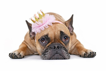 Tuinposter Franse bulldog Cute French Bulldog dog lying flat on ground wearing a pink and gold princess crown, isolated on white background