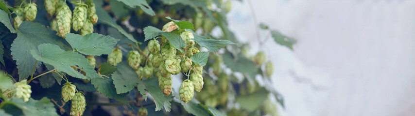Cones of hops in a basket for making natural fresh beer, concept of brewing. Beautiful panoramic image, tinted.