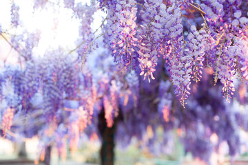 Fotomurales - Spring blooming tree. Wisteria in sunset garden. Beautiful flowers blossom in Japanese park.