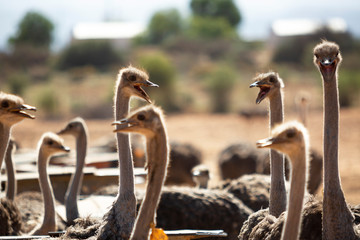 Ostriches on a farm making lots of noise, bla bla bla, near Oudtshoorn, South Africa