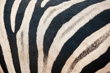 Zebra closeup of skin stripe pattern in Addo Elephant national park, South Africa