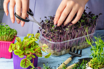 The girl cuts off with scissors shoots from the young green of red basil. Growing micro greens. Useful concept.