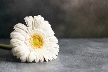Fotorolgordijn Gerbera White gerbera flower on dark gray marbled background