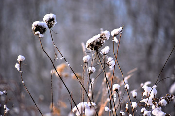 Snow capped dried out wild flowers  in winter