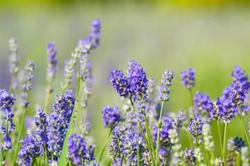 Tuinposter Lavendel Fleurs de lavande de l'île d'Orléans