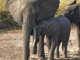 baby elephant moves in close to mum at tarangire national park