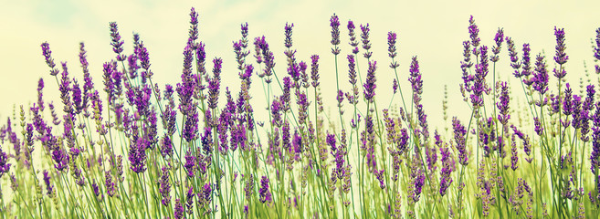 Papiers peints Lavande Blooming lavender field. Summer flowers. Selective focus