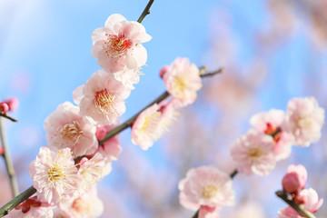 Fotobehang Lichtroze 梅の花 青空