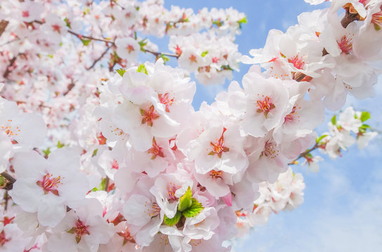 Soft pink blooming Japanese cherry on a Sunny day