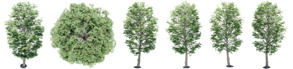 Fotorollo Olivgrun Set or collection of green maple trees isolated on white background. Concept or conceptual 3d illustration for nature, ecology and conservation, strength and endurance, force and life