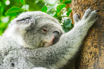 Garden Poster Koala Sleeping koala on tree portrait