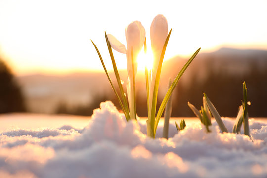 Beautiful crocuses growing through snow. First spring flowers
