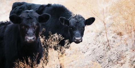 Wall Mural - Black Angus calves being curious in field.