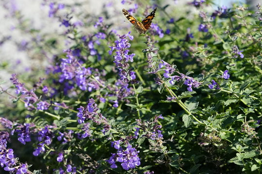 Painted lady moth butterfly feeds on purple catnip flowers