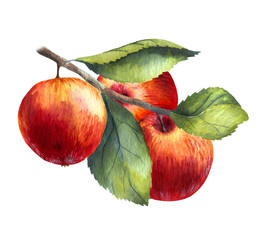 Watercolor illustrations with red apples isolated on the white background: fruits, branch and leaves