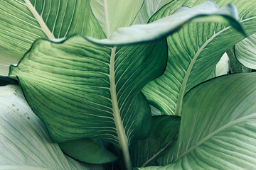 Abstract tropical green leaves pattern, lush foliage houseplant Dumb cane or Dieffenbachia the...