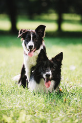 Fototapeta Two beautiful dogs of black and white color play on the green field. They sit and hug each other. One of them is a puppy. Border collie breed.