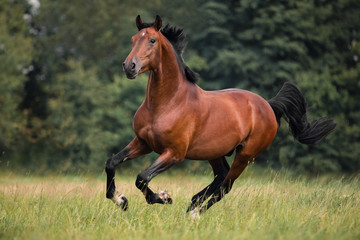 Foto op Canvas Paarden The bay horse gallops on the grass