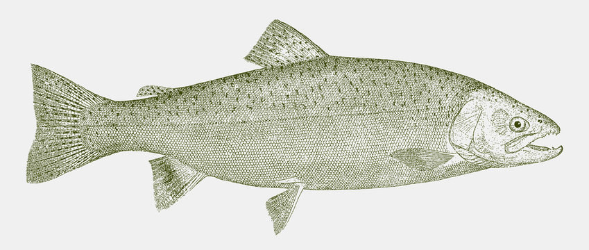 Rainbow trout, oncorhynchus mykiss, a popular food fish in side view